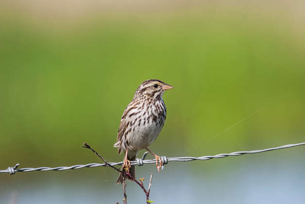 Savannah sparrows will be throughout Texas until mid-May.  Look for them in open areas like prairies, agricultual fields, wetlands, and deserts.  Photo Credit:  Kathy Adams Clark.  Restricted use. Photo: Kathy Adams Clark, Kathy Adams Clark/KAC Production / Kathy Adams Clark/KAC Productions