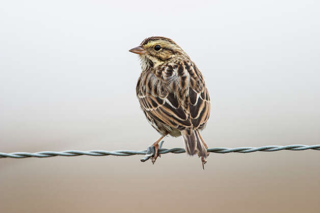 Savannah sparrows will be throughout Texas until mid-May.  Look for them in open areas like prairies, agricultual fields, wetlands and deserts. Photo: Photos By Kathy Adams Clark, For The Express-News / Kathy Adams Clark/KAC Productions