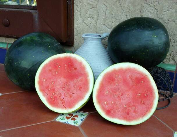 THE ?HARVEST MOON? Watermelon grows to 18-20 pounds and is seedless. Photo: Picasa