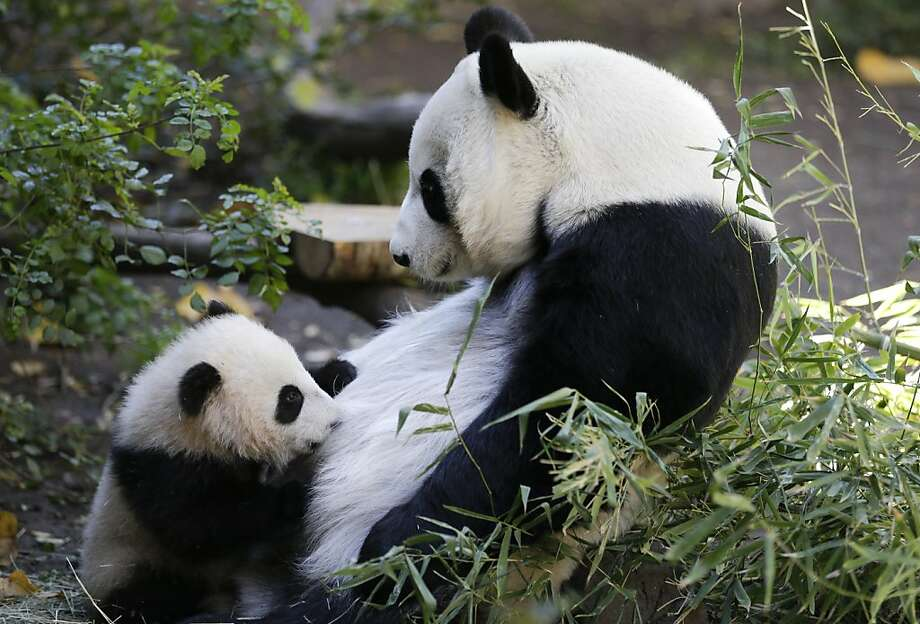 Thirstier than the average bear:Bai Yun suckles baby Xiao Liwu at the San Diego Zoo. Photo: Gregory Bull, Associated Press