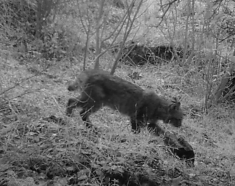 Bobcats like this one,  which was photographed with a motionactivated wildlife camera in a canyon near Vacaville,  should be allowed to live in their fur and not be killed for hunters' recreation or profit. Photo: Paul Ackerman