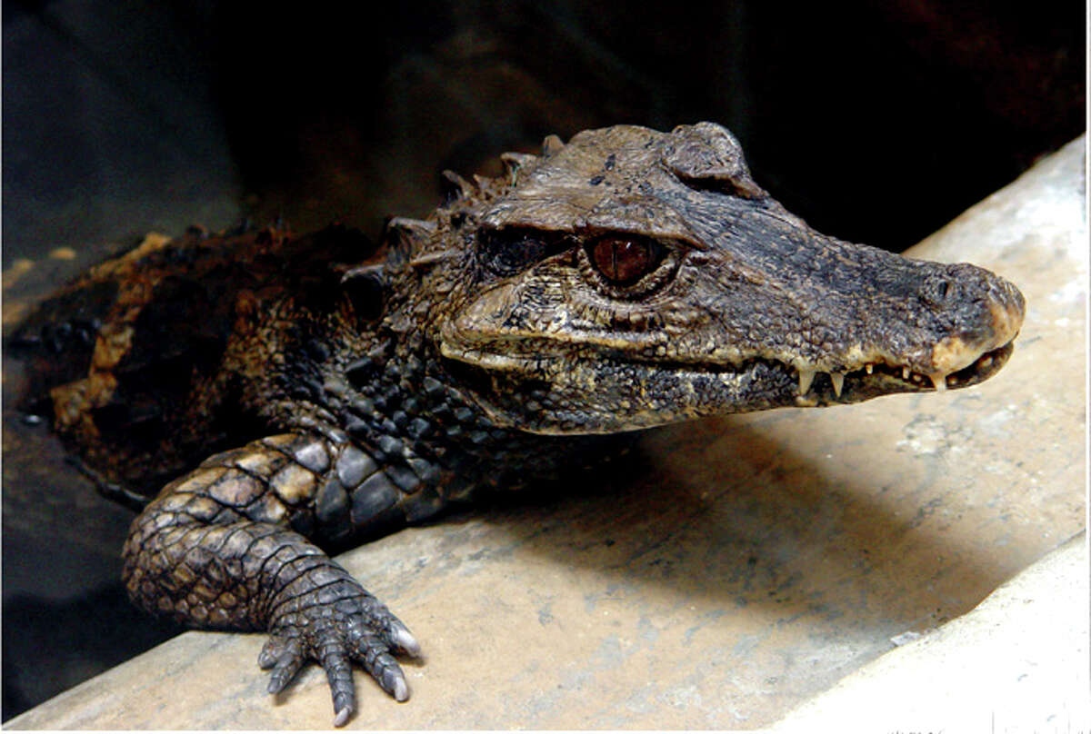 Almost - they were caimans. In 1986, multiple people reported seeing three alligators in Green Lake with eyes that shined a bright red in the dark. That led to an alligator alert from the parks department, and people stopped swimming in the lake that summer. In early June, game department staff found two caimans - alligator-like creatures that they named Carmelita and Manuel - and each were about 2 1/2 feet long. Both needed emergency veterinary care and one was particularly emaciated. It's believed that the third, if there really was a third, died from the cold lake water. Vets said the animals had been malnourished for the weeks they lived in Green Lake. Upon being taken to the nearby Woodland Park Zoo for care, one feasted on a smelt and a mouse, but the other was too sick to eat. The caimans were believed to be about 3 years old and were pulled from lake about 11:30 p.m. on June 2, 1986. How exactly did they get there? That's still a mystery. (Wikimedia Commons photo)