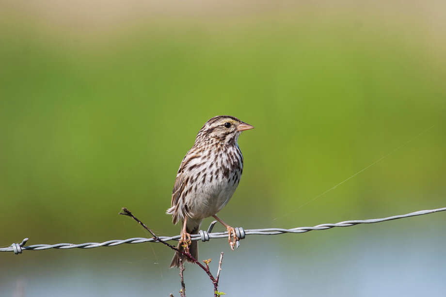 Savannah sparrows will be throughout Texas until mid-May.  Look for them in open areas like prairies, agricultual fields, wetlands, and deserts.  Photo Credit:  Kathy Adams Clark.  Restricted use. Photo: Kathy Adams Clark / Kathy Adams Clark/KAC Productions