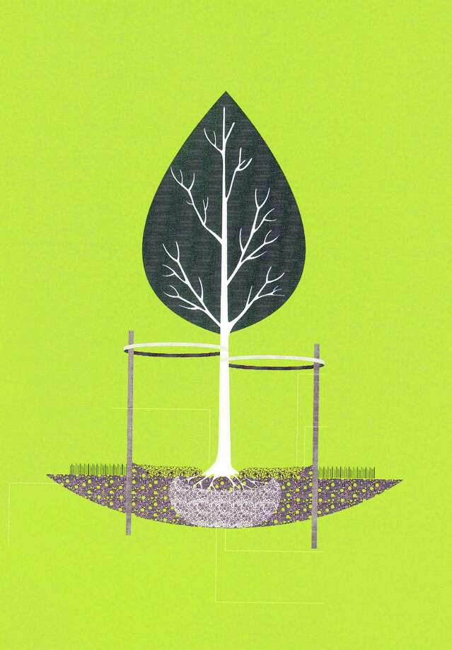How to Plant a Tree in the Houston Area.  Houston Parks Board/ the Garden Club of Houston illustration. Photo: Houston Parks Board/GCH