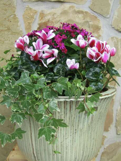 Now that holiday decorations are down, pot up some winter color at Cornelius Nursery workshops. Photo: Cornelius Nursery