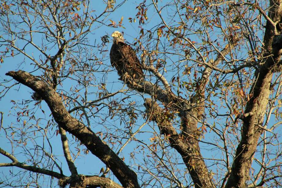 This is one of two bald eagles spotted in Hermann Park. Photo: Aimee Keeney
