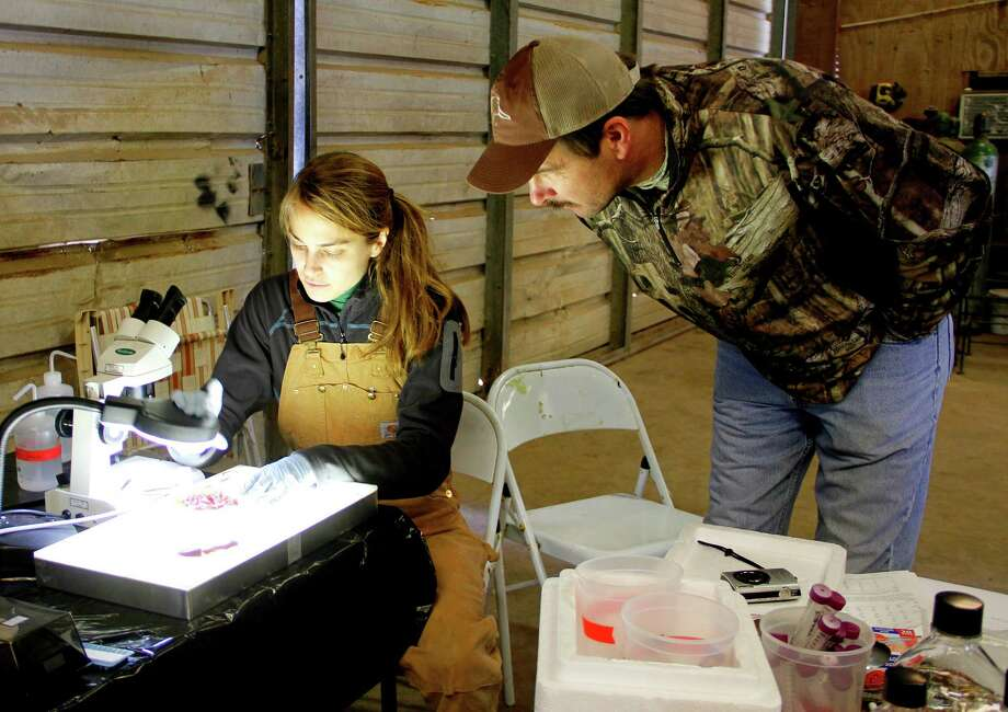 Todd Merendino, manager of conservation programs for Ducks Unlimited's Texas office, watches as Sarah Hamer, assistant professor at Texas A&M University's college of veterinary medicine, prepares to examine sandhill crane tissue samples as part of a cooperative hunter/scientist research project looking at parasites and other possible disease vectors which may affect the health of sandhill cranes and, more crucially, their cousins, the endangered whooping crane. Photo: Picasa, Shannon Tompkins/Chronicle
