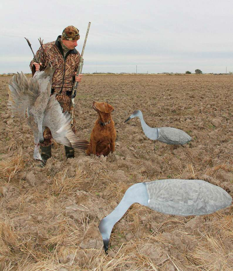 Among sandhill crane decoys set on a plowed field near Francitas, Thunderbird Hunting Club member Rob Sawyer, joined by his Chesapeake Bay retreiver, Nellie, hold a pair of sandhill cranes destined for the table and a Texas A&M University research project aimed at learning more about parasites carried by the abundant sandhills and their endangered cousins, whooping cranes. Photo: Picasa, Shannon Tompkins/Chronicle