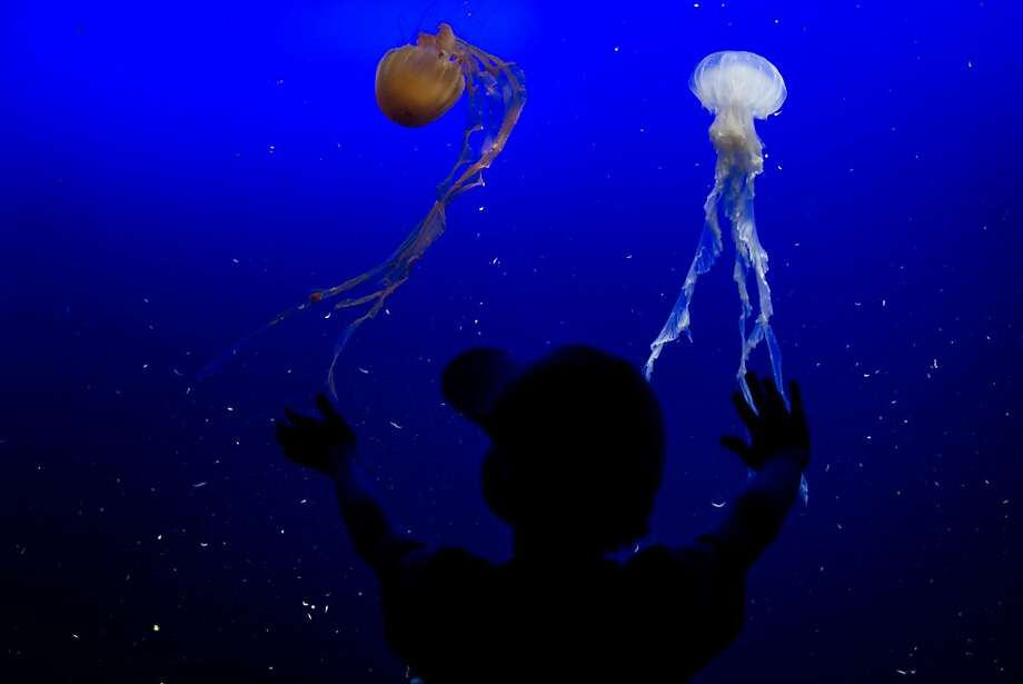 A young boy looks at jellyfish on display at Resort World Sentosa's Marine Life Park,  January 18, 2013 in Singapore. The Marina Life Park is Resort World Sentosa's newest attraction and is the world's largest aquarium, with 100,000 marine animals of over 800 species housed in 45 million litres of water.  Photo: Chris McGrath, Getty Images