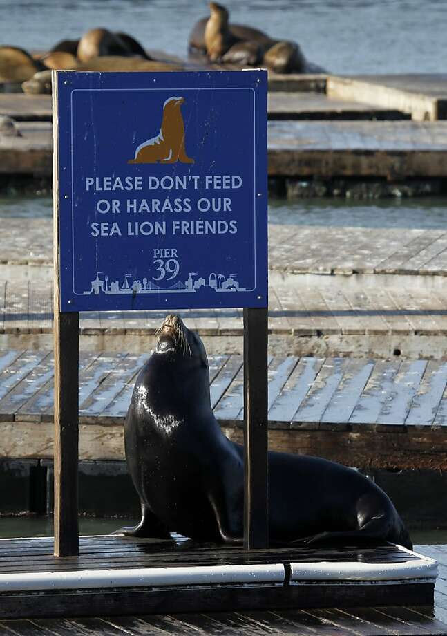 A sea lion stretches in the sun at San Francisco's Pier 39, a spot they claimed 23 years ago. Photo: Paul Chinn, The Chronicle