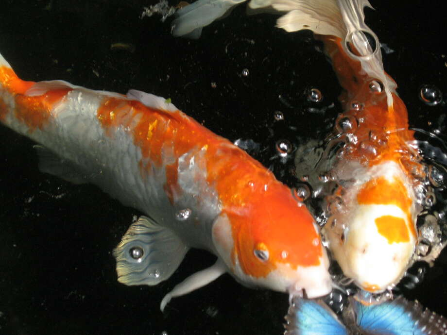 """A friend and I were visiting Magic Wings for the first time.  We stopped at the koi pond and I snapped a few pictures in a row, one of which turned out to be this serendipitous and somewhat creepy photo; seconds later the butterefly was lunch for both fish, ripped in half.  At least it had died prior to the """"attack,"""" the poor butterfly.  (Amy Wink)"""