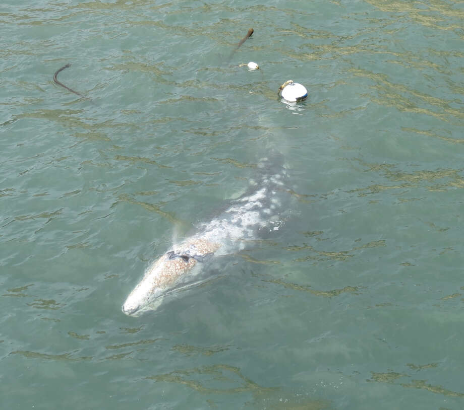 Thar she blows: a young gray whale spouts just off Point Arena Pier in Mendocino County
