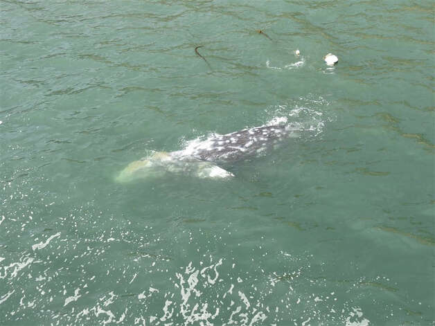 Barnacle-encrusted gray whale surfaces off Point Arena Pier