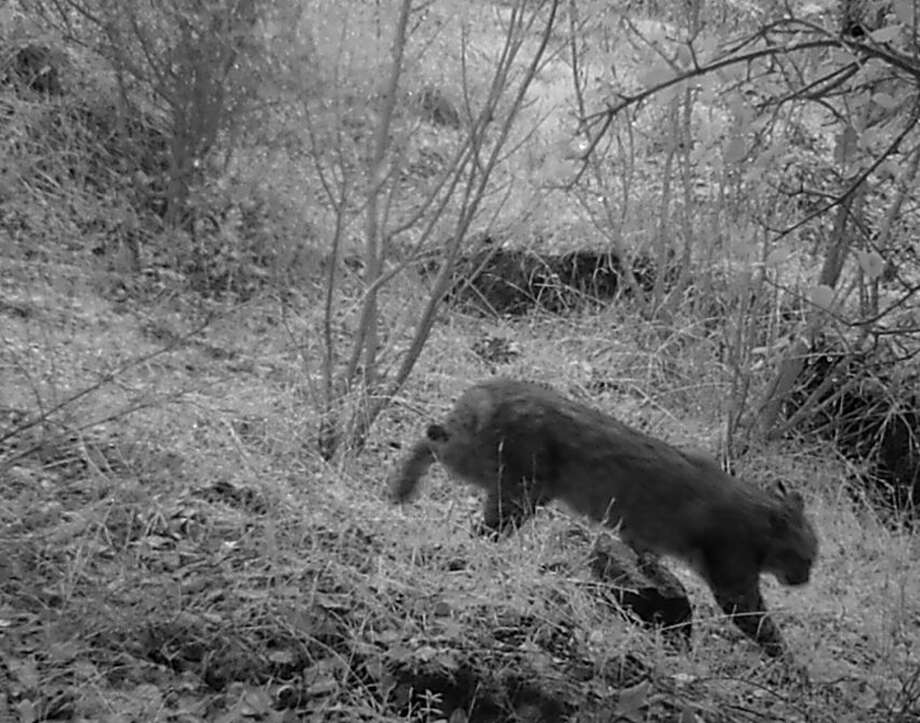 Part 2: Bobcat then saunters down trail
