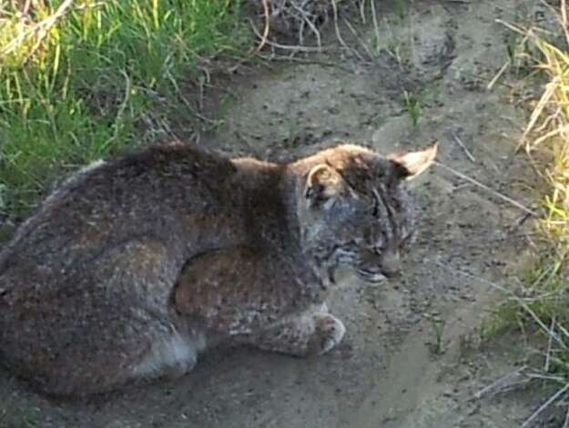 This forlorn looking bobcat was sighted on trail between Muir Beach and Tennessee Valley -- probably nothing that catching a ground squirrel for dinner wouldn't cure