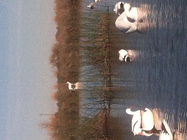 Rare albino deer at rice pond in Sacramento Valley -- reported by many, photographed by few