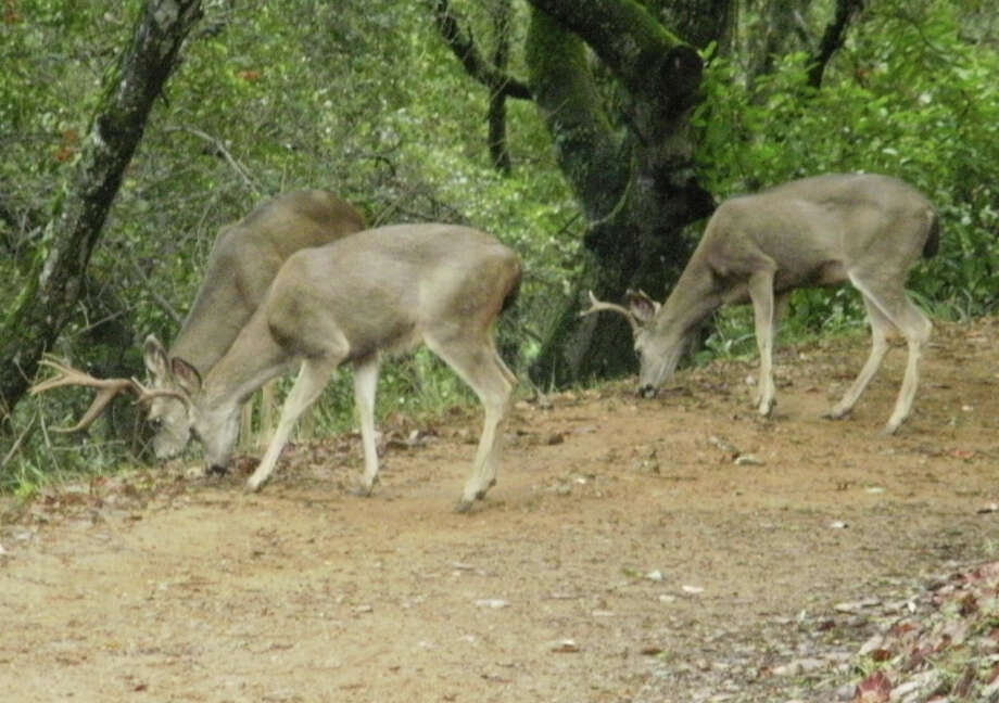 Giant bucks grazing at Rancho San Antonio Open Space Preserve