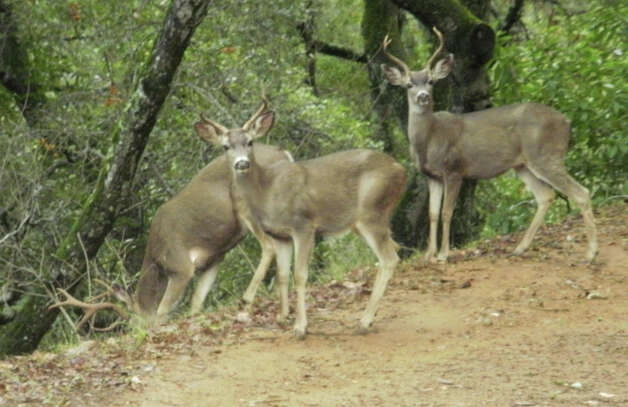 Smile for the camera: bucks at Rancho San Antonio