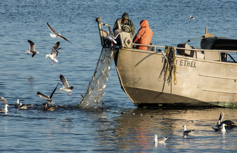 Fishermen aboard a commercial herring boat pulls its haul off China Basin, while gulls and pelicans feast on the leftovers