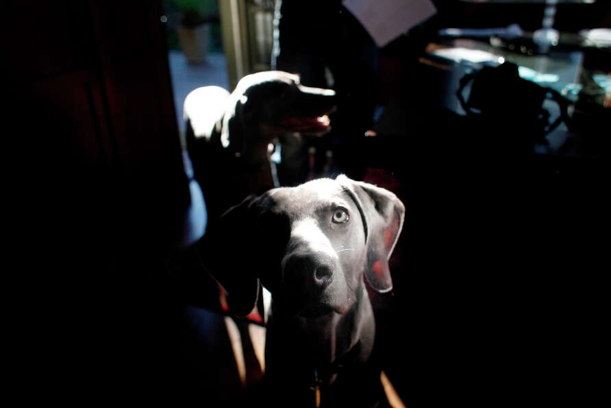Cal Meeder's 1-year-old weimaraner, Luke, plays at home on the night before he is to receive Neuticl