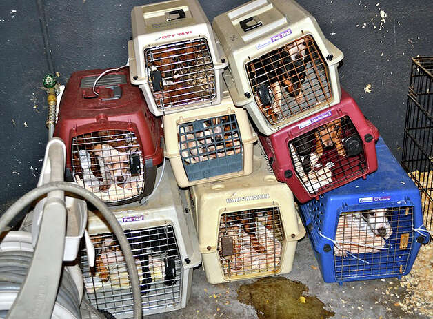 This photo released by Marion Co. Sheriff's Office shows rescued dogs at the Willamette Valley Animal Rescue in Brooks, Ore., Monday. Authorities say what was supposed to be a rescue facility for hard-to-place dogs in Marion County has turned out to be a warehouse where more than 140 were housed in deplorable conditions _ little food, water fouled by garbage, cages designed for one dog containing up to four. Photo: AP