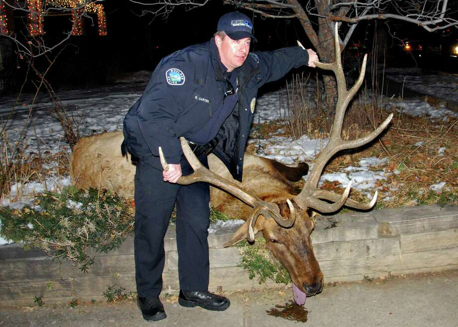 Boulder Police Officer Sam Carter poses on Jan. 1 with the elk he and Officer Brent Curnow allegedly conspired to shoot, in Boulder, Colo. Carter and Curnow were arrested Friday and face felony counts including tampering with evidence, plus misdemeanor hunting charges. If convicted, they could lose their police certifications. (AP Photo/Courtesy Lara Koenig via The Daily Camera)  Photo: AP