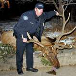 Boulder Police Officer Sam Carter poses on Jan. 1 with the elk he and Officer Brent Curnow allegedly conspired to shoot, in Boulder, Colo. Carter and Curnow were arrested Friday and face felony counts including tampering with evidence, plus misdemeanor hunting charges. If convicted, they could lose their police certifications. (AP Photo/Courtesy Lara Koenig via The Daily Camera)