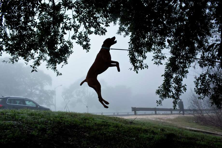Matt Gentry's dog Luna, 3, jumps after a treed squirrel as fog encapsulates the morning Jan. 20, 2013 in Houston. Gentry said Luna is a vizsla, a Hungarian breed, who loves chasing squirrels. Photo: Eric Kayne, For The Chronicle / © 2013 Eric Kayne