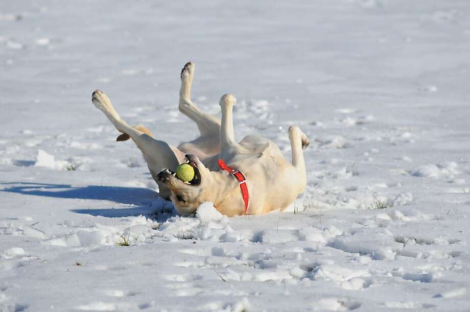 A dog named Peanutsgoes a little nuts in the snow in Pottsville, Pa. Photo: Jacqueline Dormer, Associated Press