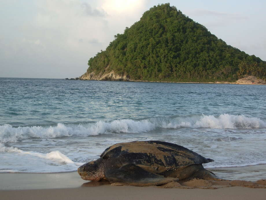 Watching turtles scramble out of the ocean and lay eggs on the beach by moonlight is a priceless experience for visitors to Grenada. Courtesy Photo Photo: Courtesy Photo / Courtesy Photo