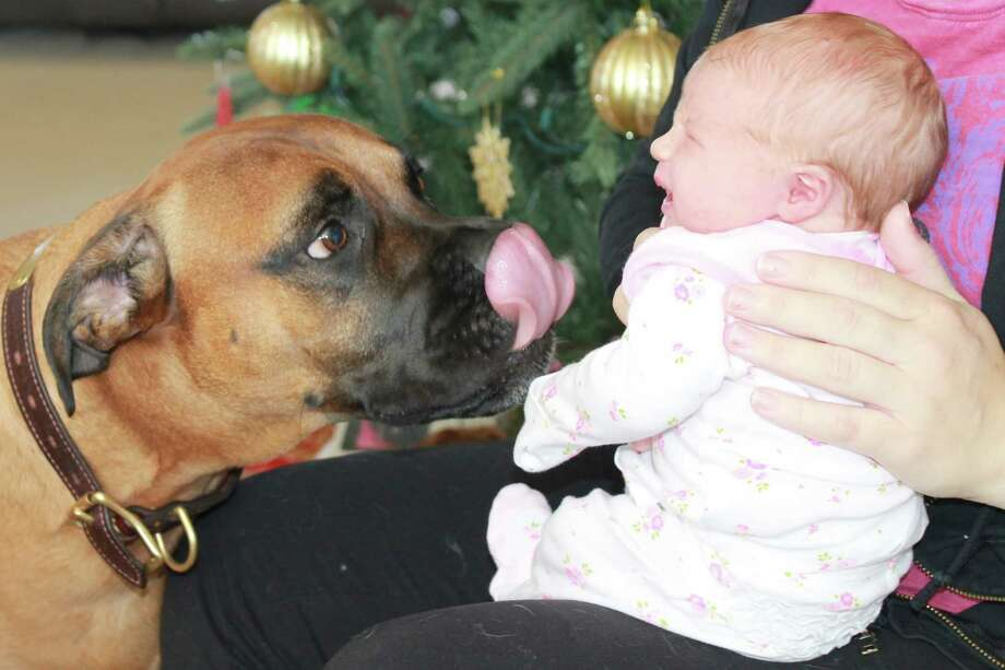"Nala, a bull mastiff, greets ""her"" new baby, Kendyl Elizabeth Harbour, 2-days old, with a big kiss. Kendyl, who has relatives in the Albany area, lives with her parents in Las Vegas, Nevada, along with Rocky, another bull mastiff. (Beth Harbour)"