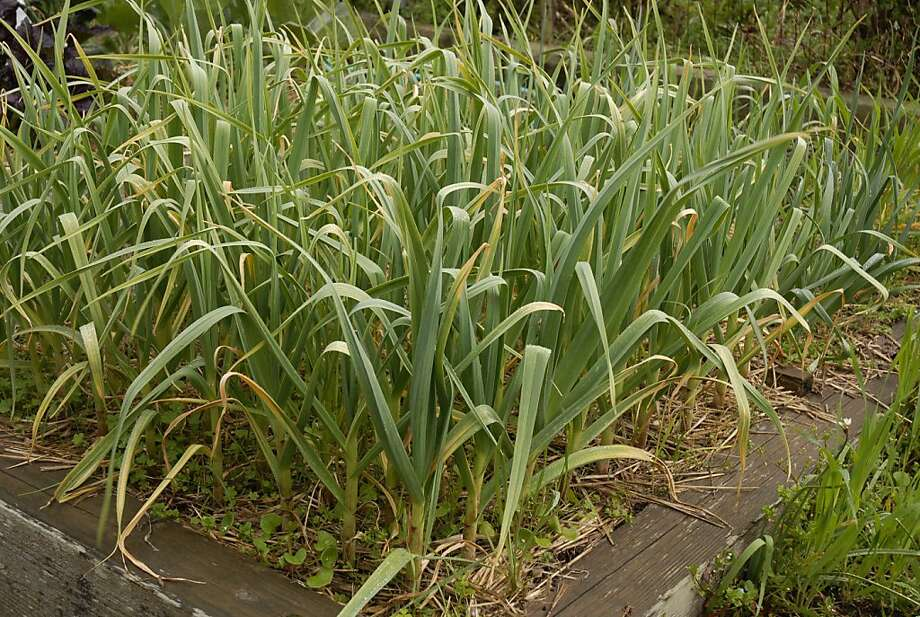 The leaves of healthy garlic are still green in May. By the end of June, if all goes well, it will be dry enough to harvest and store. But growers need to be cautious about two major diseases. Photo: Erle Nickel