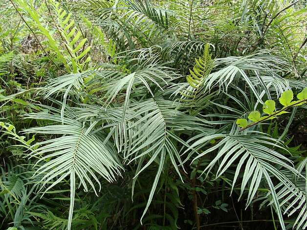 Pteris vittata was discovered to have the ability to absorb large amounts of arsenic from soil. Photo: MS Museum Of Modern Science