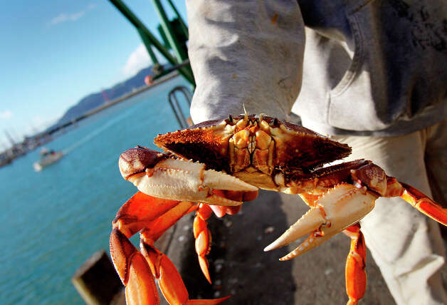 In this file photo, a dock worker held a large Dungeness crab just  arriving at Fisherman's Wharf on the docks of Fisherman's Wharf Wednesday  December 12,  2012 in San Francisco. Photo: Brant Ward, The Chronicle / ONLINE_YES