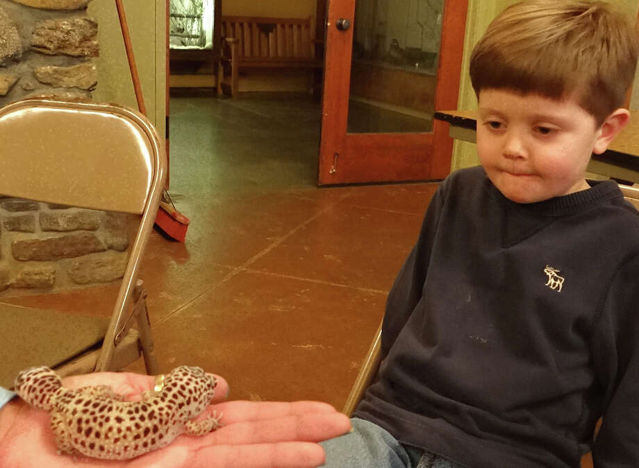 Five-year-old Colme Watcke of Southport is a little unsure about getting cosying up to Geico the Leopard Gecko at a program on lizards Thursday at Connecticut Audubon Society's Fairfield cneter.  FAIRFIELD CITIZEN, CT 1/17/13 Photo: Mike Lauterborn / Fairfield Citizen contributed
