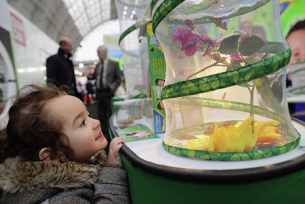 Juliet Quispe Palacios, 3, from London looks at a stand with real Butterflies hatching during the 2013 London Toy Fair at Olympia Exhibition Centre on January 22, 2013 in London, England. The annual fair which is organized by the British Toy and Hobby Association, brings together toy manufacturers and retailers from around the world. Photo: Dan Kitwood, Getty Images / 2013 Getty Images