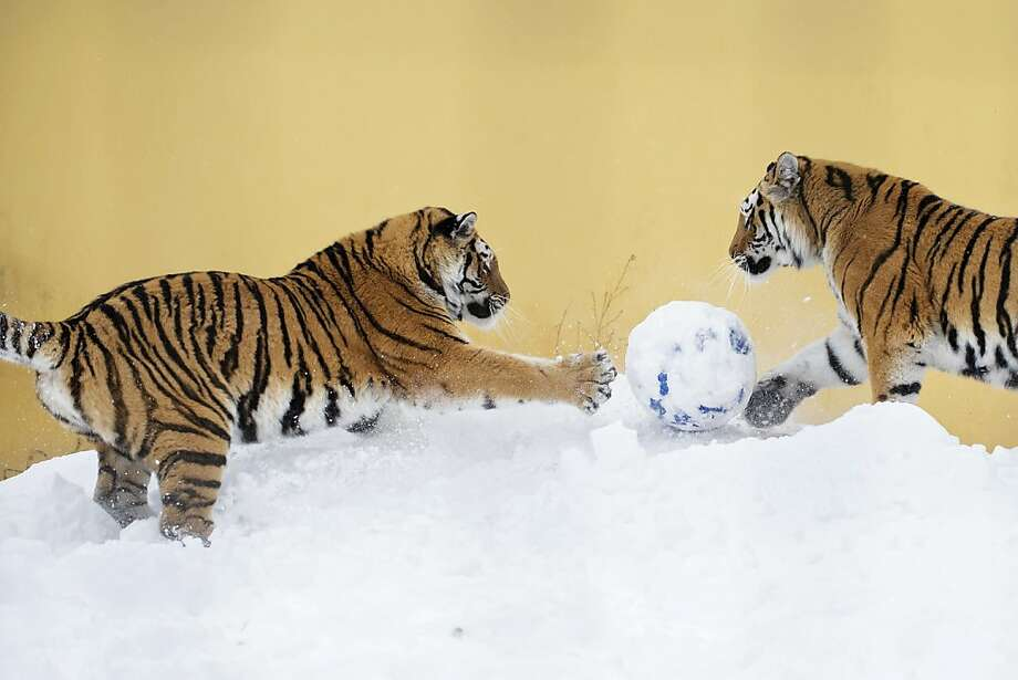 We interrupt snowman construction at the Schoenbrunn Zoo in Vienna for a brief game of head soccer. Photo: Daniel Zupanc, AFP/Getty Images