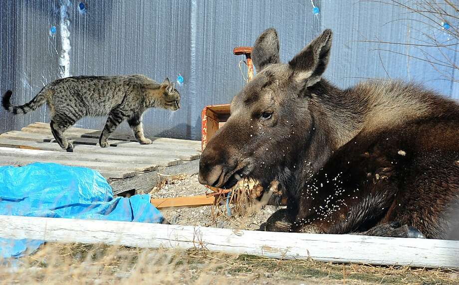 Something's amiss, er, a moose: A family tabby investigates an unauthorized visitor to a residence in Pocatello, Idaho. The young moose made itself right at home in the backyard, and now Shoshone-Bannock Fish and Game is considering what to do with the freeloader. Photo: Doug Lindley, Associated Press