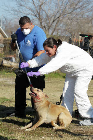 San Antonio Animal Control officers remove dogs from a house at 1014 West Mally Boulevard, Monday, Jan. 22, 2013. Animal control executed a seizure warrant for animal cruelty at the house and 19 dogs were seized. The animals were triaged outside the house and the owner might face animal cruelty charges. Photo: Jerry Lara, San Antonio Express-News / © 2013 San Antonio Express-News