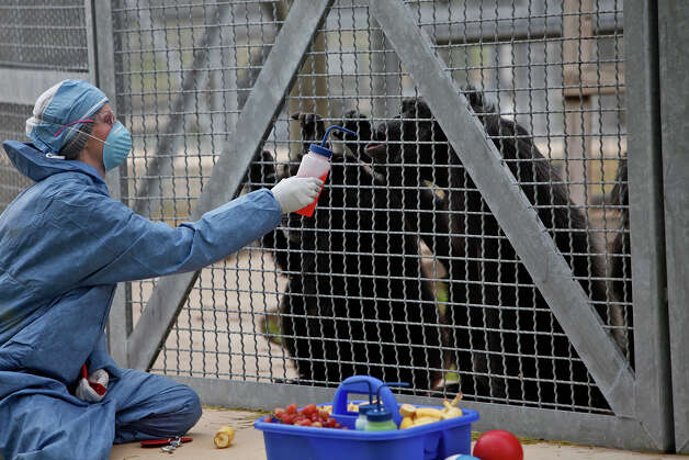 Sabrina Bourgeois works with chimpanzees, teaching them their body parts at Texas Biomedical Research Institute in San Antonio. Photo: LISA KRANTZ, STAFF / lkrantz@express-news