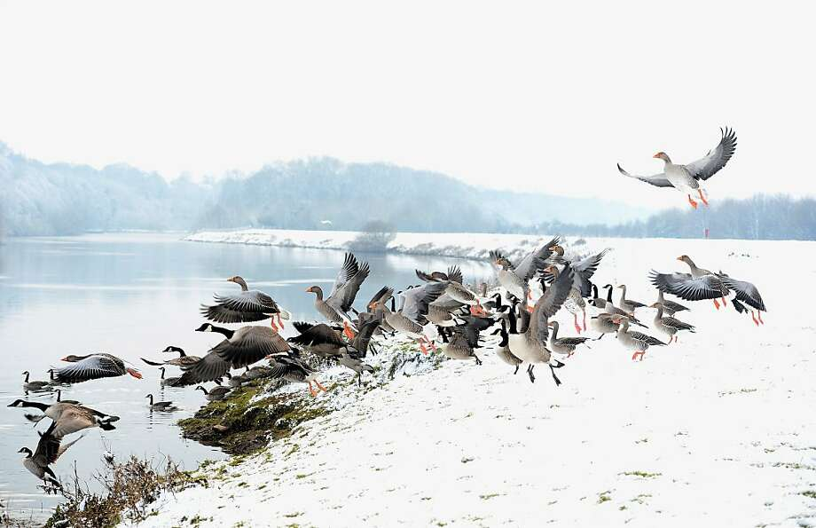 Canada Geese fly on the snow covered banks of the River Trent on on January 22, 2013 in Nottingham,