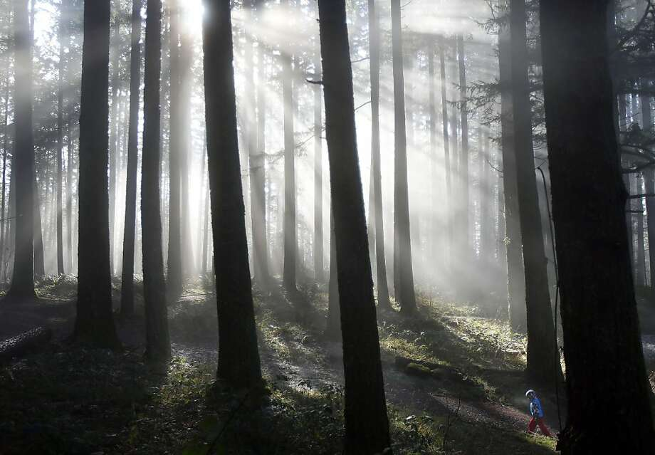 A child walks amidst Douglas fir trees during a family outing at the base of Spencer Butte on Tuesday, Jan. 22, 2013, in Eugene, Ore. (AP Photo/The Register-Guard, Brian Davies) Photo: Brian Davies, Associated Press