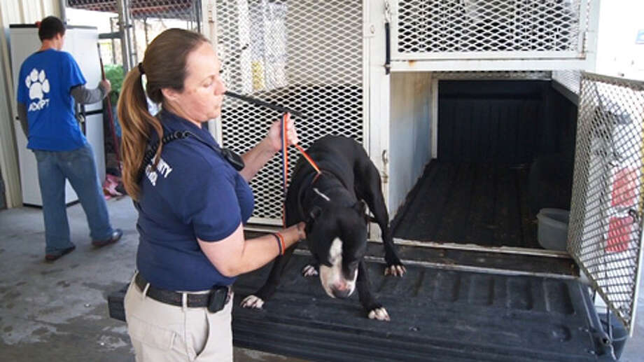 Animal Control is holding this pit bull for evaluation after it got unchained Tuesday and severely bit an 18-month-old Willis boy and his mother.  (Scott Engle / Montgomery County Police Reporter) Photo: Montgomgery County Police Reporter