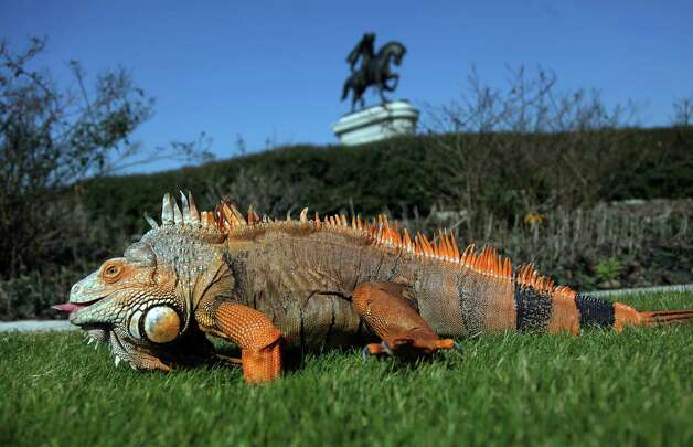 Charro, the 12 year-old Green Iguana, soaks in the sunshine for the first time in days at Herman Park on Tuesday, Jan. 22, 2013, in Houston.  Charro lives in the Houston Museum of Natural Science  Butterfly Exhibit. It needs to be at least 70 degrees in order for volunteers to take him out of exhibit to warm up the cold blooded iguana. Photo: Mayra Beltran, Houston Chronicle / © 2013 Houston Chronicle