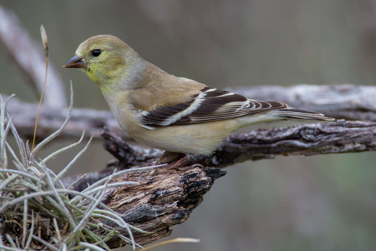 American goldfinches have arrived in Texas for the winter. They are feasting on an abundant wild food crop as well as seeds from backyard feeders.