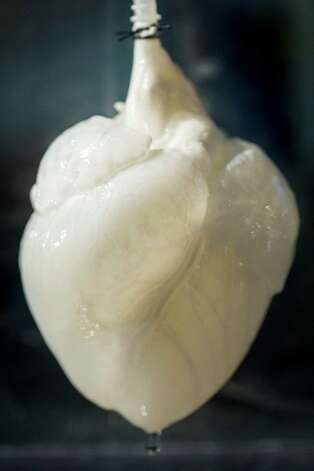 "A heart scaffold which many believe is the first step toward being able to grow new replacement hearts -- and other organs -- for people, sits in the lab of Dr. Doris Taylor, Director of Regenerative Medicine Research at Texas Heart Institute, Wednesday, Jan. 16, 2013, in Houston.    Dr. Taylor her team garnered international recognition for her work involving ""whole organ decellularization,"" in which they showed they can remove the existing cells from hearts of laboratory animals and even humans to leave a framework for building new organs. By then repopulating the framework with another human adult stem cells and giving it a blood supply, the heart regenerates, taking on the characteristics and functions of a revitalized beating heart.  ( Michael Paulsen / Houston Chronicle ) Photo: Michael Paulsen, Staff / © 2013 Houston Chronicle"