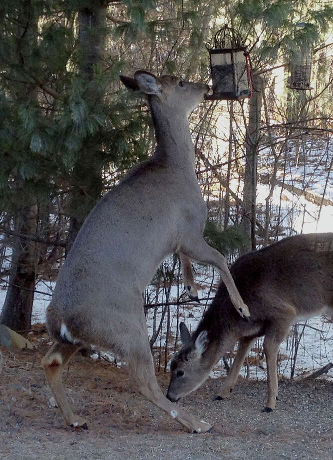 A deer stands on its hind legs to get the seeds in a bird feeder while another deer grazes on bird seed on the ground, Tuesday, Jan. 22, 2013, in Weston, Wis. North central Wisconsin like much of the upper midwest is caught in the coldest temperatures of the season.  (AP Photo/The Wausau Daily Herald, ) NO SALES Photo: Dan Young, ASSOCIATED PRESS / AP2013