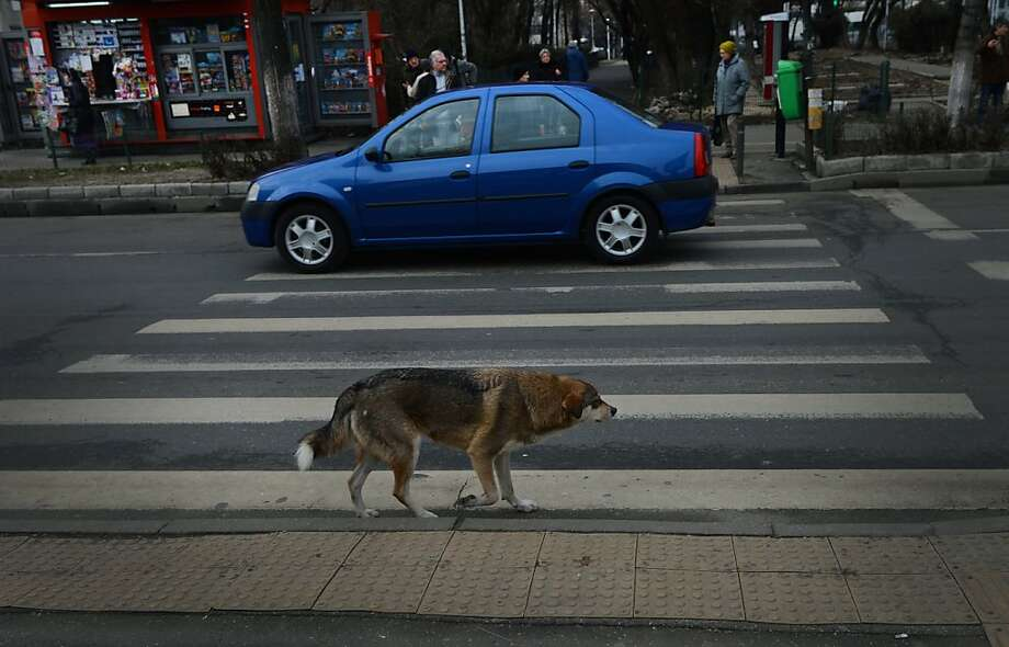 "Stray dogs smarter than Romanian jaywalkers: Traffic police are now filming strays at crosswalks in Bucharest in an effort to persuade pedestrians to be more careful when crossing the street. Apparently, the dogs show better judgment crossing than many pedestrians in the city. Last year 360 people exercising ""a lack of discipline"" were struck and killed by vehicles, police say. Photo: Daniel Mihailescu, AFP/Getty Images"