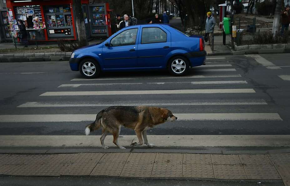 Stray dogs smarter than Romanian jaywalkers: Traffic police are now filming strays at crosswa