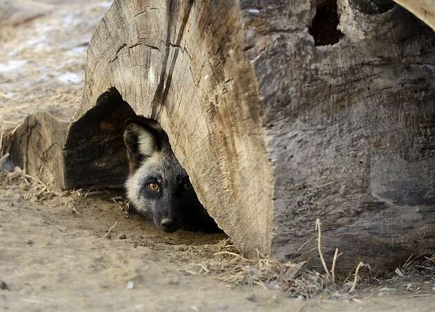 Stump dweller: A wary red-and-silver fox named Claire peeks out from her den in Sioux Falls, S.D. Photo: Elisha Page, Associated Press